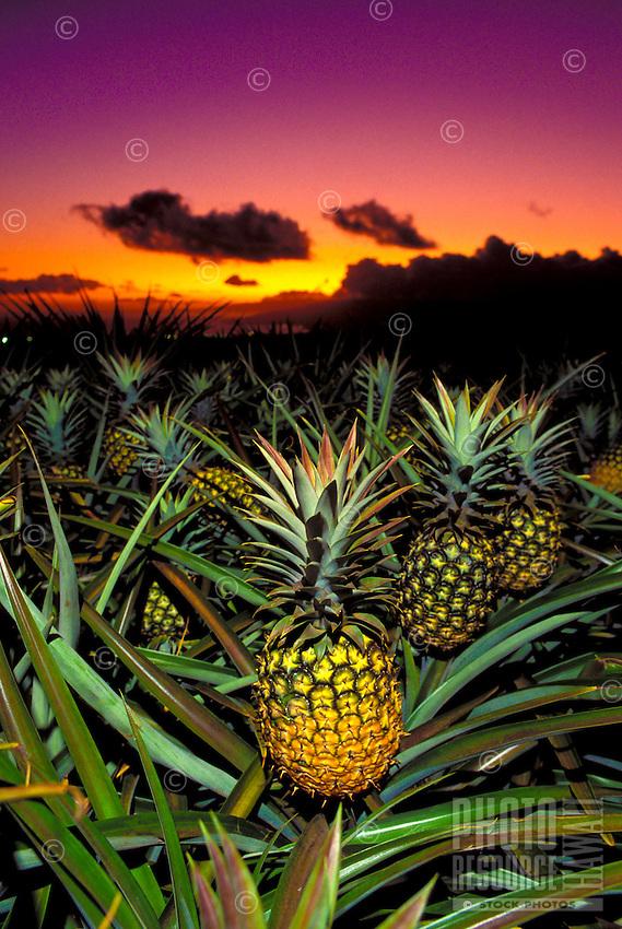 Pineapples at sunset in Kula, Maui.