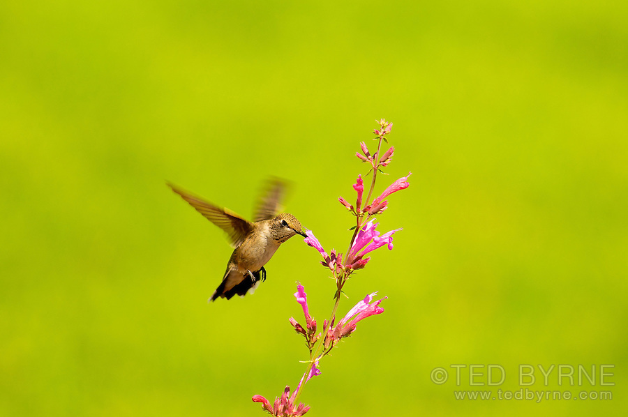 Black-chinned Hummingbird feeding in a pink flower