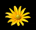 "Rudbeckia hirta ""Prairie Sun""  visible light.  See image 3109265 and image 3109266"