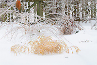 Hakonechloa macra Aureola in winter snow and ice, with stems of Physocarpus Coppertina and picket fence . Note that Physocarpus 'Coppertina' aka Mindia is called Physocarpus opulifolius 'Diable D'Or' aka Mindia in Europe.