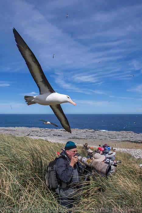 Large colony on Steeple Jason Island, Falkland Islands.