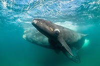 southern right whale, Eubalaena australis, mother and calf in the shallow protected waters of the Nuevo Gulf, Valdes Peninsula, Argentina, South Atlantic Ocean