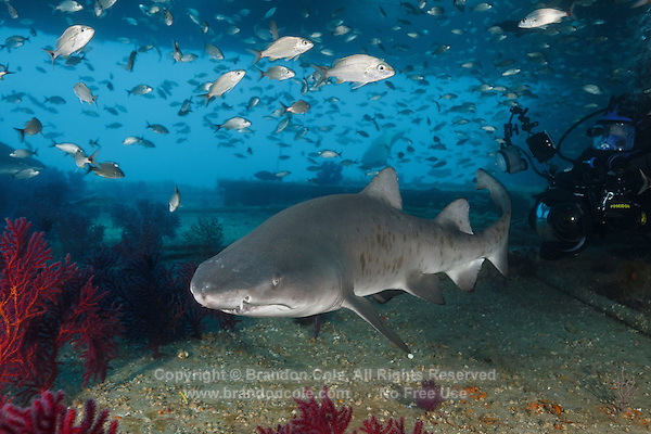 TP0134-D. Sand Tiger Shark (Carcharias taurus) swims close to scuba diver with underwater camera inside the wreck of the Aeolus. This shark also known as Gray Nurse Shark and Ragged-tooth shark. Though fearsome appearance due to their teeth, they not aggressive, posing no threat to divers unless provoked. Previously classified as Eugomphodus taurus and Odontaspis taurus. North Carolina, USA, Atlantic Ocean.<br /> Photo Copyright &copy; Brandon Cole. All rights reserved worldwide.  www.brandoncole.com