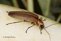 1C24-544z  Firefly Adult - Lightning Bug - eating apple - Photuris spp