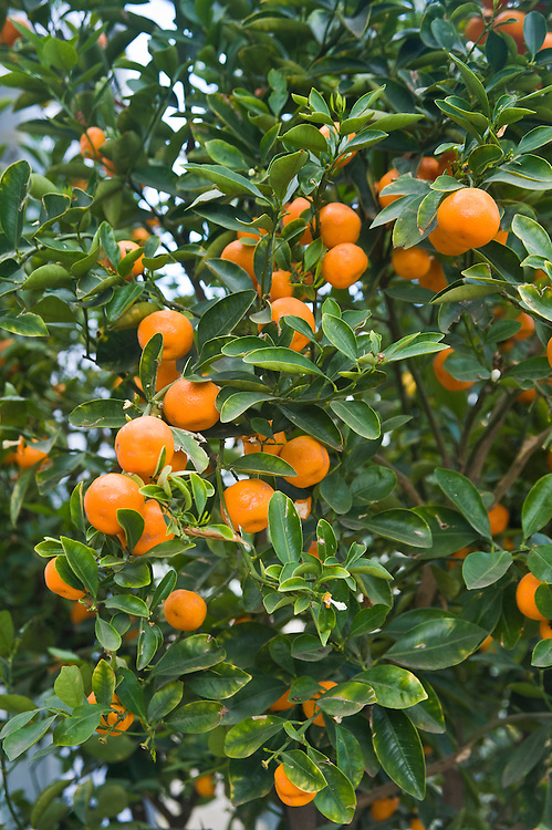 Mandarins, glasshouse, late March.