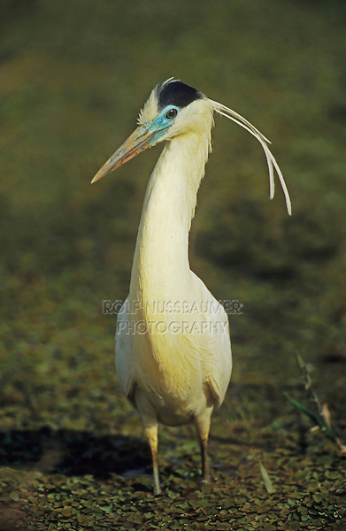 Capped Heron (Pilherodius pileatus), adult walking, Pantanal, Brazil, South America