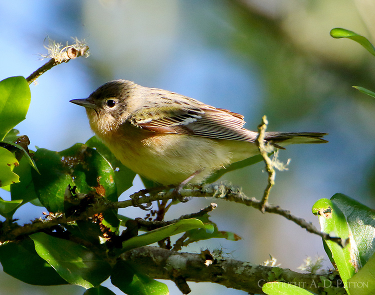 Female bay-breasted warbler