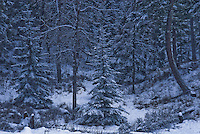 Snow covered trees in the Kootenai National Forest