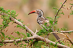 "Red-billed hornbill (Tockus erythrorhynchus), also known as the ""flying chili pepper.""<br />