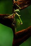 Mantis y heliconia / Parque Nacional Camino de Cruces, Panamá.<br /> <br /> Edición de 10 | Víctor Santamaría.