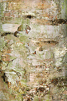 Paper-bark Birch (Canoe-bark Birch) Betula papyrifera (Betulaceae) HEIGHT to 23m. A stout, spreading tree. Best recognized by studying its leaves. BARK Mostly white and smooth, flecked with grey or sometimes orange or brown; it peels horizontally into strips. BRANCHES Spreading, the shoots covered in rough warts and a few long hairs. LEAVES Large by birch standards (to 10cm long), dull green and with only 5 pairs of veins; they are borne on hairy stalks. REPRODUCTIVE PARTS Catkins, females of which eventually produces winged seeds. STATUS AND DISTRIBUTION A native of northern N America from the east to the west coast. It is planted here as an ornamental tree, mainly for the novelty of its bark. COMMENTS The freely peeling bark was once used by Native Americans to make canoes.
