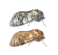 Goat Moth - Cossus cossus<br /> 50.001 BF162