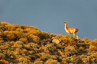 It was raining when we stopped the vehicle and spotted a small herd of Guanacos on the hill. Suddenly the Patagonian wind blew away the clouds, and this Guanaco was bathed in golden light. When it walked right into position, we thanked our lucky stars and took this image. Near Torres del Paine National Park, Patagonia, Chile.