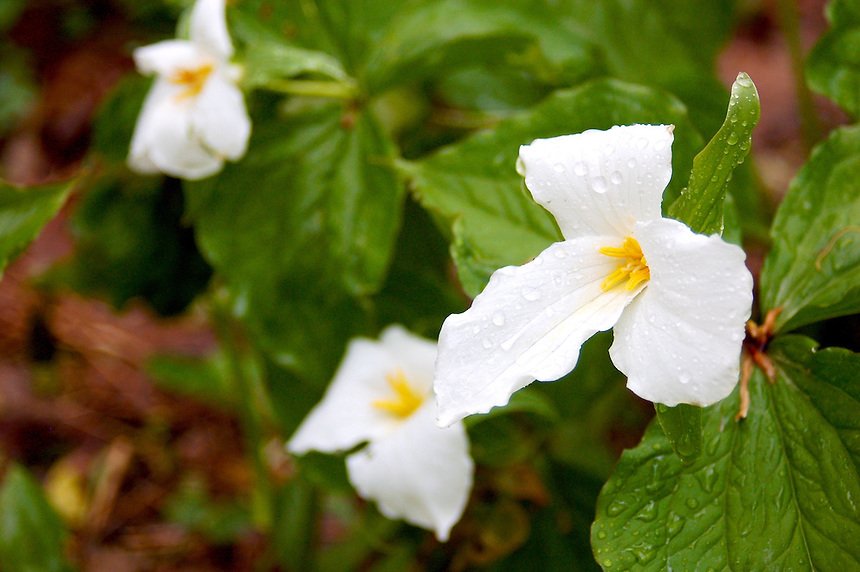 Beautiful spring trilliums coated with fresh rain drops. Pictured Rocks National Lakeshore, Munising, MI.
