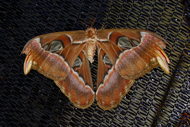 "A beautiful and very large moth, this Atlas moth is resting on a metal mesh screen    displaying his wonderful shades of browns with black and white banding and clear ""windows"" in his wings."