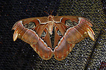 """A beautiful and very large moth, this Atlas moth is resting on a metal mesh screen    displaying his wonderful shades of browns with black and white banding and clear """"windows"""" in his wings."""