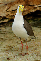 The Masked Lapwing (Vanellus miles), previously known as the Masked Plover and often called the Spur-winged Plover in its native range, is a large, common and conspicuous bird native to Australia, particularly the northern and eastern parts of the continent.