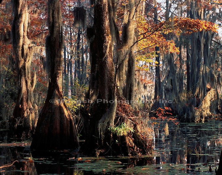 Bald Cypress trees Merchants Millpond SP  NORTH CAROLINA