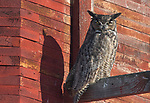 Great Horned Owl (Bubo virginianus) roosting in the sun outside an old red barn on a sub-zero morning. Okanagon County, Washington. January.