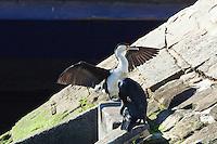 Pied Cormorant w Great Cormorant, Woolloomooloo, Sydney