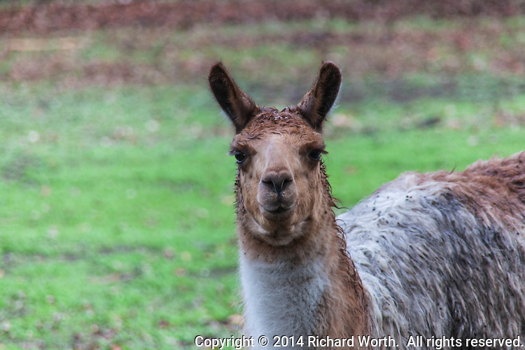 Judging by the ears, straight not curved, we assume this is an alpaca, appearing to grin at us over the fence.