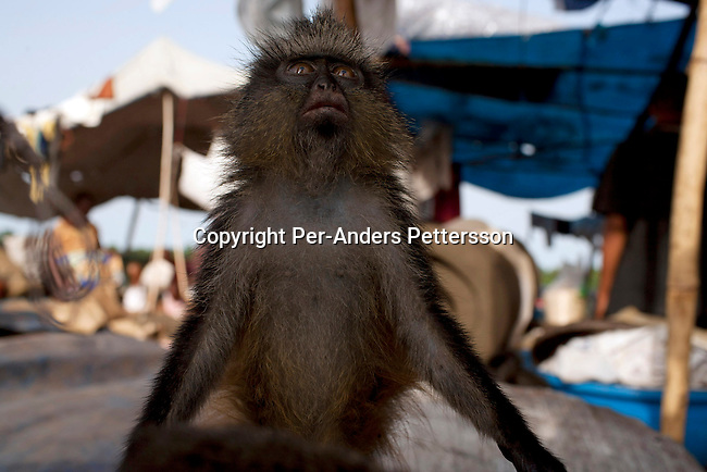 KISANGANI, DEMOCRATIC REPUBLIC OF CONGO MARCH 4: A monkey on a boat leaving Kisangani port for the capital Kinshasa on March 4, 2006 in Kisangani, in Congo, DRC. Dola died a few days later from an unknown disease. Many animals are taken to Kinshasa and sold as pets or for the meat. The Congo River is a lifeline for millions of people, who depend on it for transport and trade. The journey from Kisangani to Kinshasa is about 1750 kilometers, and it takes from 3-7 weeks on the river, depending on the boat. During the Mobuto era, big boats run by the state company ONATRA dominated the traffic on the river. These boats had cabins and restaurants etc. All the boats are now private and are mainly barges that transport goods. The crews sell tickets to passengers who travel in very bad conditions, mixing passengers with animals, goods and only about two toilets for five hundred passengers. The conditions on the boats often resemble conditions in a refugee camp. Congo is planning to hold general elections by July 2006, the first democratic elections in forty years. (Photo by Per-Anders Pettersson)...