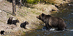 Grizzly bear sow and her three young cubs crossing river. Yellowstone National Park, Wyoming.