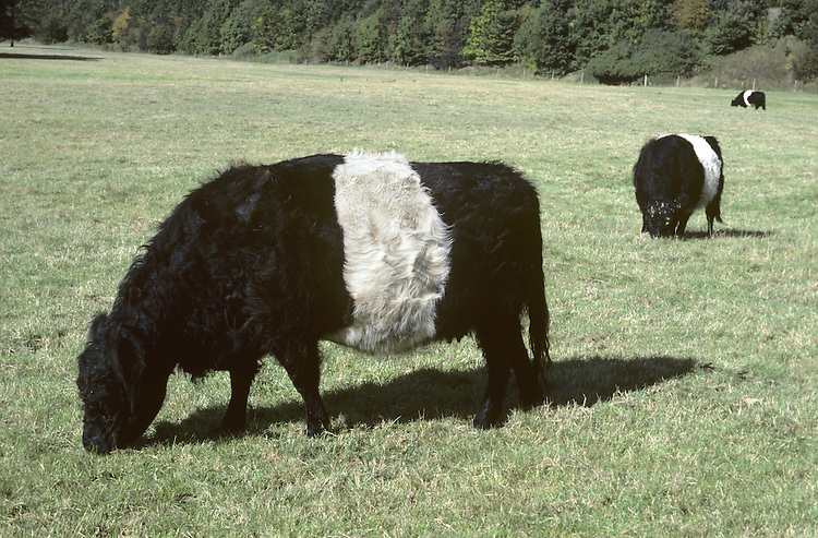 Cattle Bos primigenius Shoulder height 1-1.5m Male (bull) is larger and stockier than female (cow). In many breeds, both sexes have horns; those of male are usually larger than female's. Juvenile (calf) resembles a small, hornless adult with cleaner coat. Bulls bellow. Breeds of dairy Cattle include Friesian, Guernsey, Jersey and Dairy Shorthorn. Breeds of beef cattle include Aberdeen Angus, Highland, Devon, Sussex, Hereford and Beef Shorthorn. Dual-purpose breeds include Belted Galloway and Red Devon.