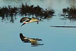 Skimmer flying near water