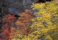 Fall colors have arrived at Big Bend at Zion National Park, Utah