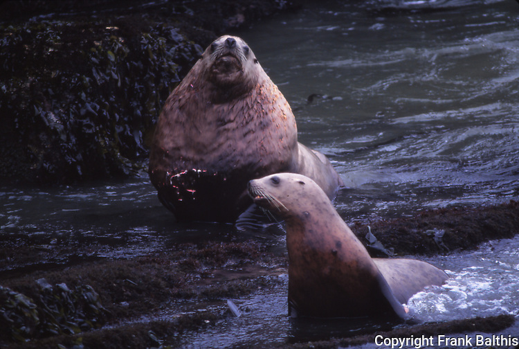 Steller sea lion bull with wound on chest