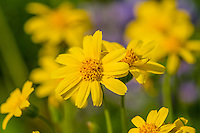 Broadleaf Arnica or Mountain Arnica (Arnica latifolia).  Summer wildflower at Mount Rainier National Park, WA.