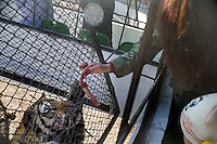 Visitors hold small pieces of beef, purchased for about US$1.50, through a protective cage to feed to tigers at the Siberian Tiger Park in Haerbin, Heilongjiang, China.  The Siberian Tiger Park is described as a preserve to protect Siberian tigers from extinction through captive breeding.  Visitors to the park can purchase live chickens and other meat to throw to the tigers.  The Siberian tiger is also known as the Manchurian tiger.