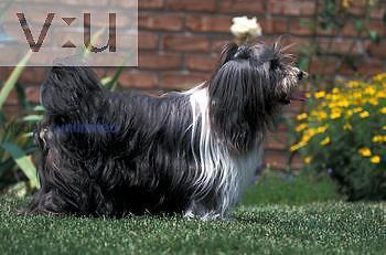 Tibetan Terrier standing in grass