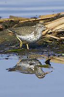 Spotted Sandpiper walking through some muddy reeds