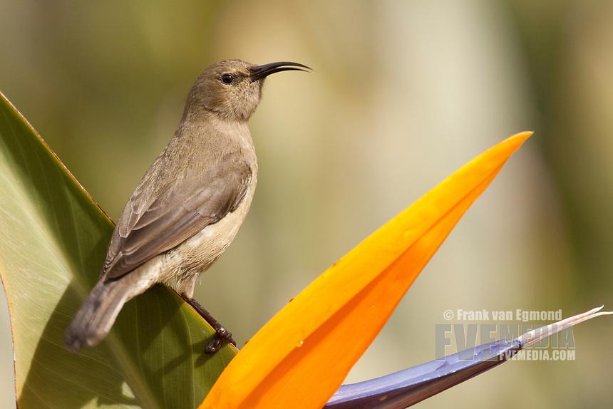 Double-collared Sunbird female, Kirstenbosch Gardens, South Africa