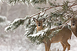 White-tailed doe and fawn looking through the snow-covered branches of a red pine.
