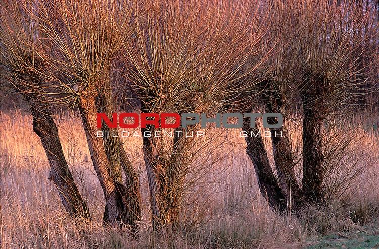 Kopfweiden am DŁmmer See<br /> Foto &copy; nordphoto / Willi Rolfes<br /> <br /> <br /> <br />  *** Local Caption *** Bildinfo: 20 * 30 bei 300 DPI<br /> Foto ist honorarpflichtig! zzgl. gesetzl. MwSt.<br />  Belegexemplar erforderlich<br /> Adresse: nordphoto<br /> Georg-Reinke-Strasse 1<br /> 49377 Vechta