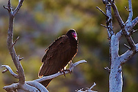 Turkey Vulture Portrait