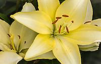 Orienpet Hybrid Lily 'Novatore'