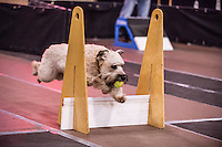 Fetch n Fly Flakes a Flying Flyball Tournament March 14 and 15 2015