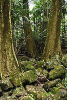 Sub-tropical rain forest, Mt. Tamborine National Park, Queensland, Australia