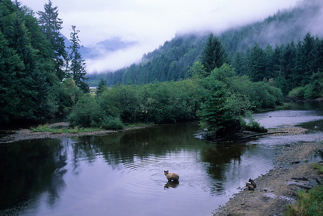 CANADA, BRITISH COLUMBIA, KNIGHT INLET, GLENDALE RIVER, GRIZZLY BEAR SOW WITH CUBS