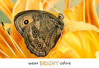 Wear bright colors- Beautiful wood nymph butterfly close up on daylily, with caption, Missouri USA