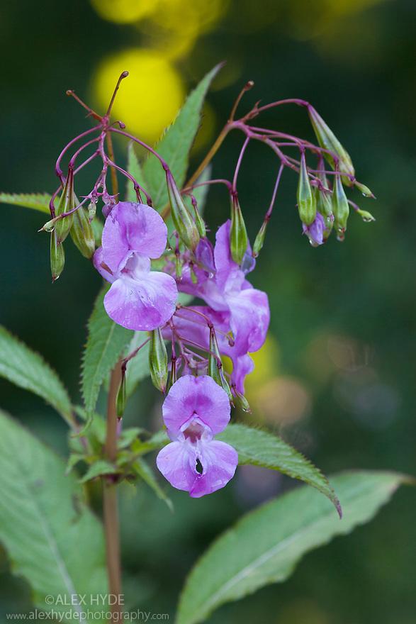 Himalayan Balsam (Impatiens glandulifera}, an invasive plant species. Peak Districy National Park, Derbyshire, UK. September.