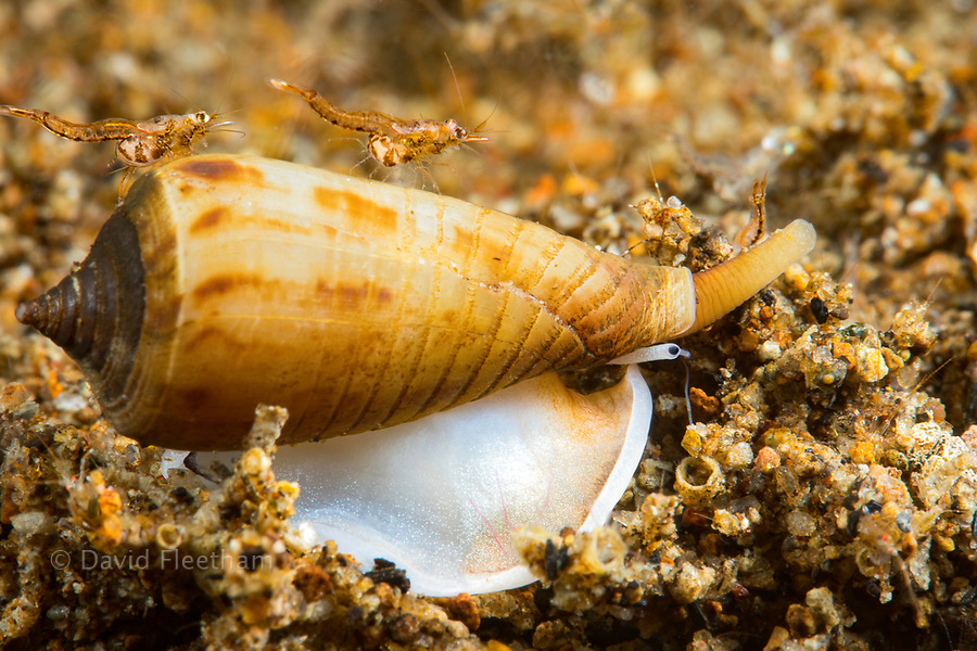 A very small cone shell, Conus sp., cruises across the sand at night with two mysid shrimp hitching a ride.  The size of the grains of sand give you an understanding of the proportions pictured here, Dumaguete, Philippines.