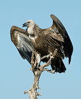 Eurasian Griffon Vulture - Gyps fulvus
