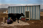 A woman milks a cow, in the unauthorized Israeli outpost of Tekoa D, West Bank.
