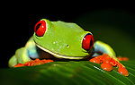 COSTA RICA - OCTOBER 20: A tight shot of a red eyed tree frog on a leaf in Costa Rica on October 20, 2003. The red eyed tree frog's eyes are used as a form of protection to scare off predators. (Photo by: Donald Miralle)