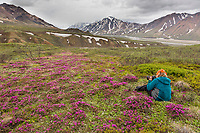 Photographer takes pictures of spring blooming lapland rosebay that colors the tundra in Denali National Park, Alaska Range mountains in the distance.